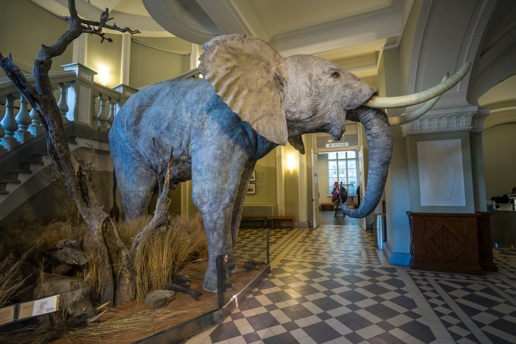 Elephant in the natural history museum