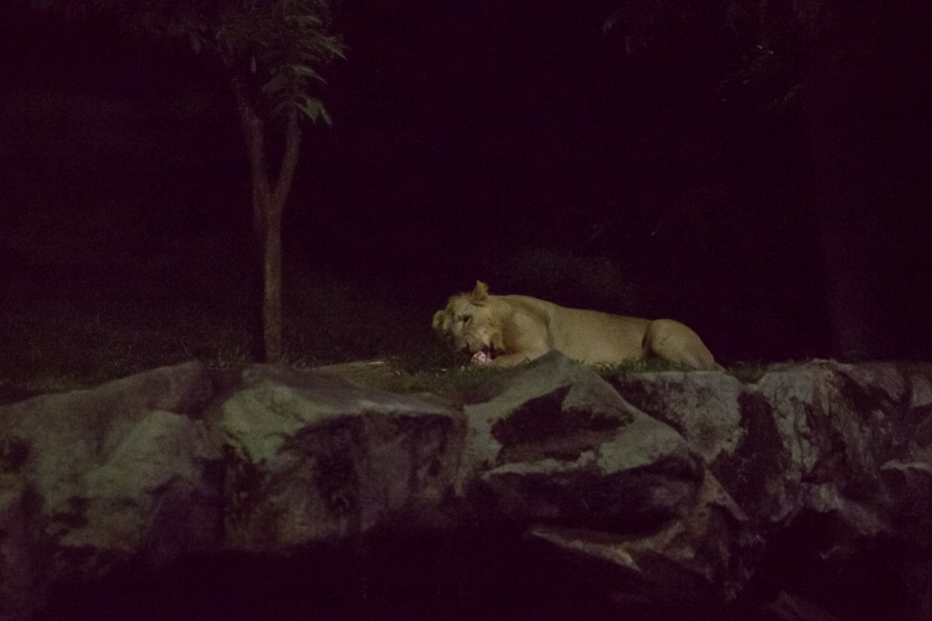 Lion at Singapore Night Safari