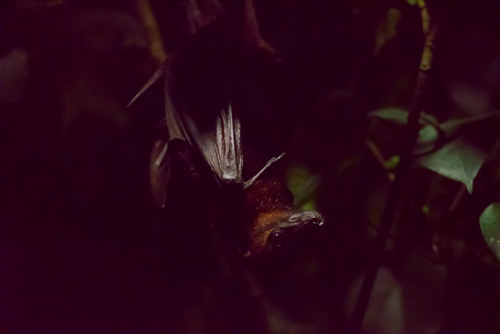 Fruit bat at night safari